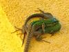 (JoStyran) Tags: italy green yellow hotel lizard sicily taormina villabelvedere