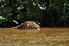 Wild Jaguar Swimming in the Cuiaba River, Brazil (Susan Roehl) Tags: braziltrip2016 thepantanal cuiabariver brazil southamerica jaguars largewildcat pantheraonca male swimming caiman capybara fish dietconsistsof86differentspecies sueroehl naturalexposures photographictours panasonic lumixdmcgh4 100400mmlens handheld ngc coth5