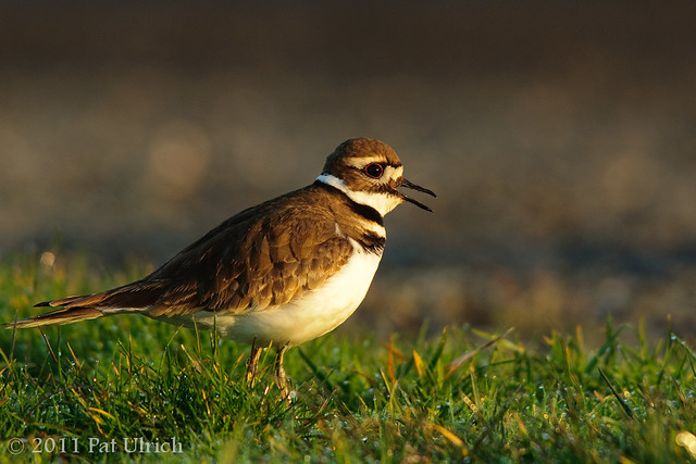 Calling killdeer, morning light