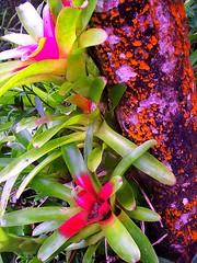 ~~Hawaii-The Big Island #1~~ (TravelsThruTheUniverse) Tags: flowers hawaii thebigisland junglegardens tropicalgardens tropicaljungle tropicallandscapes junglefoliageplants bromeliadsontrees tropicalplantsgardeninglandscaping exoticplantsgardenslandscapes tropicalplantsgardenslandscapes exoticshrubs exoticsubtropical