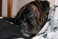 Sleepy Puppy (ThisNamesTaken) Tags: dog cute puppy boxer upclose muzzle smushy