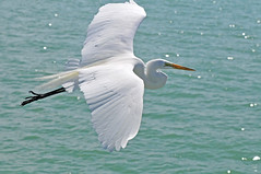 Great Egret (NaturalLight) Tags: park county white bird flying inflight florida great egret fortdesoto