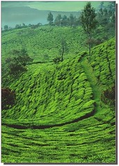 A Stretch of Green (~SilpaS GLH~) Tags: travel woman india lake green canon landscape photography photographer textures munnar undulations terrains teaplantations glasslighthues watchingforelephants
