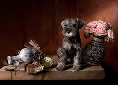 Still life with Puppy (kevsyd) Tags: roses stilllife schnauzer kevinbest