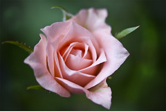 Another Mini Rose (Thelma Gatuzzo) Tags: pink stilllife flower macro green nature fleur closeup flor fiore minirose fantasticflower minirosa thelmagatuzzo