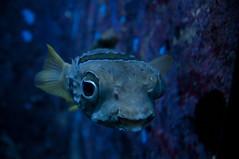 ハリセンボン, 沖縄美ら海水族館