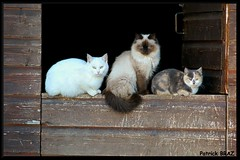 Tribu de chats (Patchok34) Tags: cats france chats franchecomt doubs kartpostal mywinners flickraward chauxneuve nikonflickraward doublyniceshot