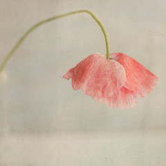 Poppy (borealnz) Tags: pink hairy texture square petals dance stem pretty bend skirt double pale poppy vase desaturated bent tutu papaver arched bsquare shirleypoppy frilled hairystem flypapertextures borealnz