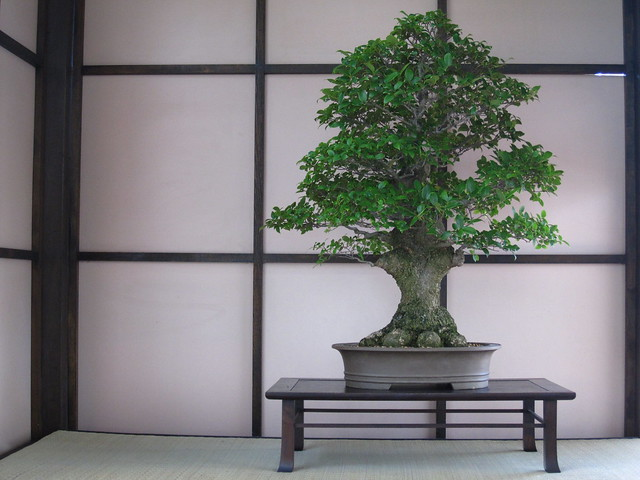 Japanese hackenberry (<em>Celtis senensis</em>) in formal upright style. Photo by Rebecca Bullene.&#8221; /></a></p> <div>Japanese hackenberry (<em>Celtis senensis</em>) &#105;&#110; formal upright style. Photo &#98;&#121; Rebecca Bullene.</div> </div> </div> </div> </div> </div> <div> <div><img src=