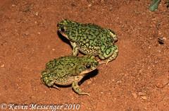 Bufo debilis (Kevin Messenger) Tags: arizona slr digital canon eos rebel xt kevin wildlife amphibian toads az frog toad 7d frogs messenger dslr 2010 herpetology anura amphibia xti anuran 40d 60d kevinmessenger