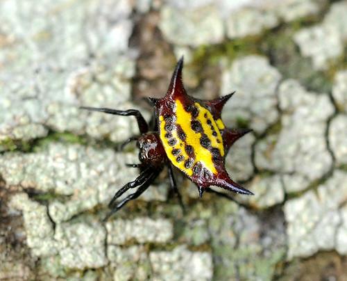 Expédition Sangha 2010 : araignée