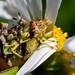 Phymata Americana Melin