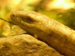 european legless lizard wpz P2092848R3 (studiod_baltico1) Tags: seattle park woodland zoo european lizard legless wpz