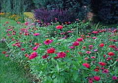 Zinnias and Rudbeckias glow in the evening light