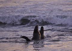 Sea Lions (swazileigh/ Langman Lightscapes) Tags: california sunset mushroom monterey waves bigsur carmel pebblebeach seals 17miledrive centralcoast cambria shellbeach loslobos avilabeach juliapfiefferburnsstatebeach