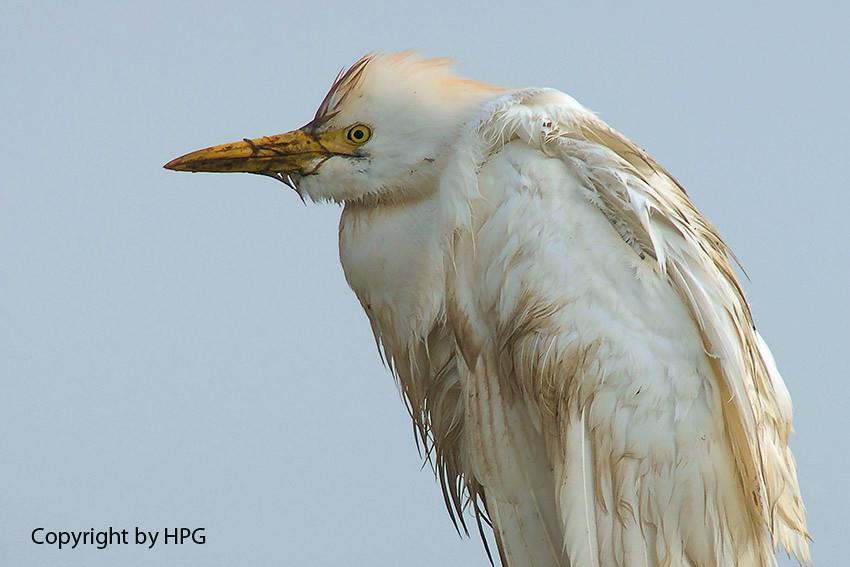 Garça Boieira ou Carraceiro (Bubulcus ibis)
