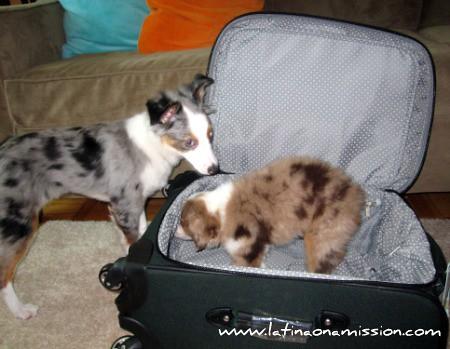 Pups & Suitcase