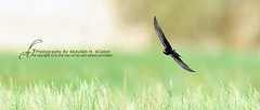 Barn Swallow   -  (Abdullah alJaber > AJ.SA) Tags: show bird barn wonderful aj photography one nice nikon perfect shoot photographer photographers kingdom saudi arabia pro swallow ramadan hamad shooters n1 niceone ksa abdullah d300  1430 saudia      digitalcameraclub  aljaber   iaj       onaizah      anaizah iajme