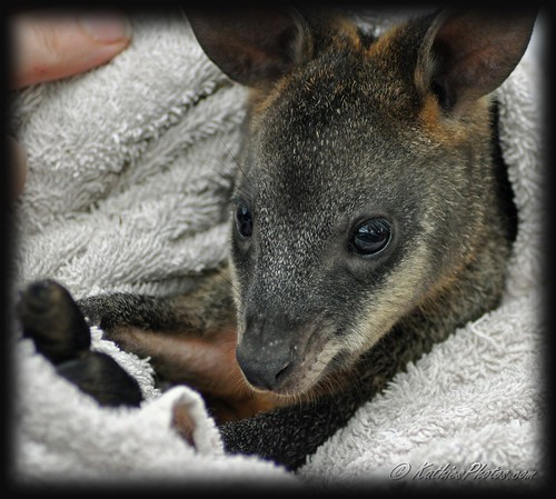 55-365 Orphaned Joey Wallaby 25/2/11