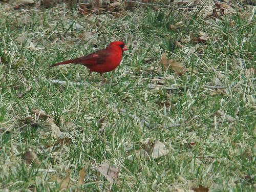 Pink spot cardinal