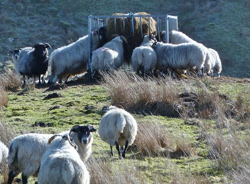 Hungry sheep nr Glasgow