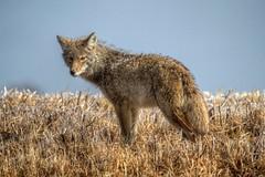 Wet Coyote (webgoers) Tags: coyote fermilab