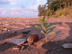 Cakile on 12-mile beach (Pete&NoeWoods) Tags: plant searocket 12milecreek 12milebeach cakileedentula eriecountypennsylvania pnhpvoucher f09woo73