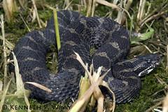 Sistrurus catenatus catenatus (Eastern Massasauga) (Kenny Wray) Tags: nature snake wildlife kenny herp herps sistrurus wray massasauga fieldherping serpentes viperidae herping catenatus kennywray