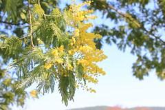 Mimosa (claudio.santucci) Tags: