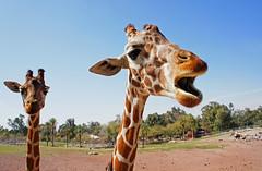 Singing Giraffe, with Back-up (sea turtle) Tags: arizona phoenix zoo giraffes giraffe phoenixzoo