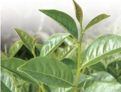 茶樹精油-20100914095244_m