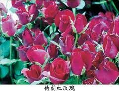 荷蘭玫瑰精油-20100914091954_m