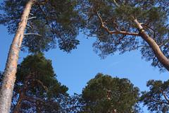 IMG_9598 (Tornny) Tags: sea sky beach pine forest canon spring sand dunes dune bluesky natura latvia riga balticstates thebalticsea латвия whitedune canon450d baltakapa белаядюна