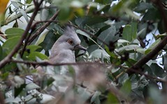 Hiding in the Tree #1 (soneld) Tags: birds australia canberra act crestedpigeon ocyphapslophotes giralang birdsoftheact