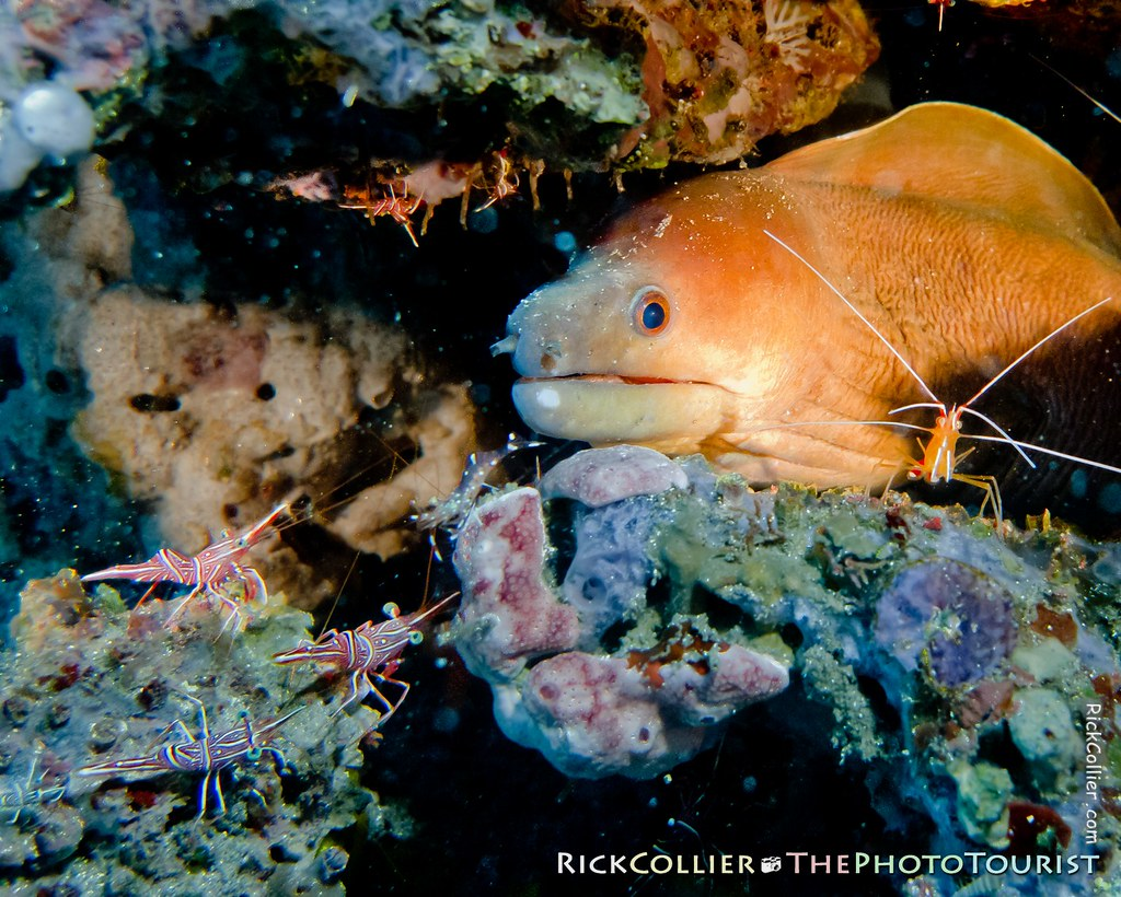 Attentive shrimps of several kinds surround a moray eel