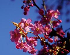 cherry blossom clinic (horsesqueezing) Tags: themove cherryblossomclinic soundtrackmonday
