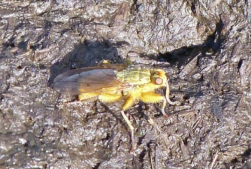 Yellow Dung Fly (Scathophaga stercoraria) by Peter Orchard