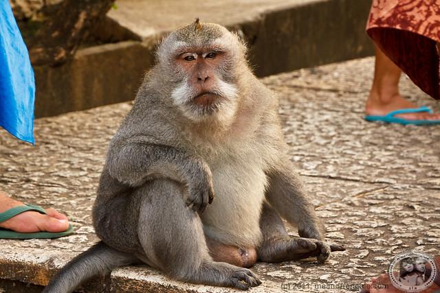 Fat Monkey