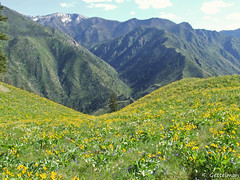 Arrowleaf balsamroot, Frank Church Wilderness, ID (Tatiana Gettelman) Tags: pictures mountains church nature field station yellow frank landscape outdoors landscapes photo pretty view natural image photos pics creative picture commons pic images x hills research photographs photograph taylor bloom wildflowers wilderness benches lanscape blooming balsamroot arrowleaf