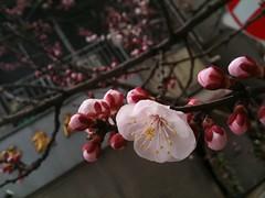 桜、少しずつ