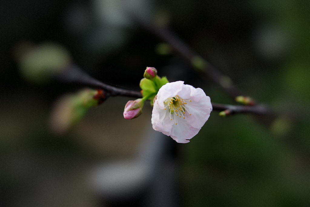 桃園五酒桶山之 ~ 櫻 花 ~