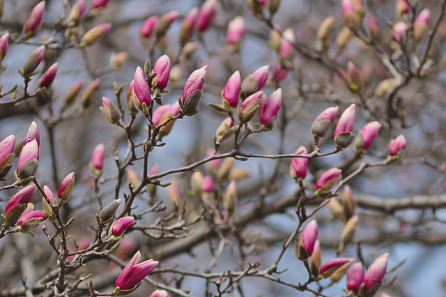 Magnolia blossoms, at Calvary Cemetery, in Saint Louis, Missouri, USA