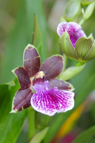 First Zygopetalum Blooms