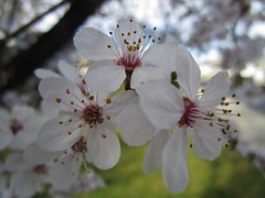 Flowering Plum (Lissyanne (fighting pain daily)) Tags: pink flower tree petals plum petal floweringplum 2011
