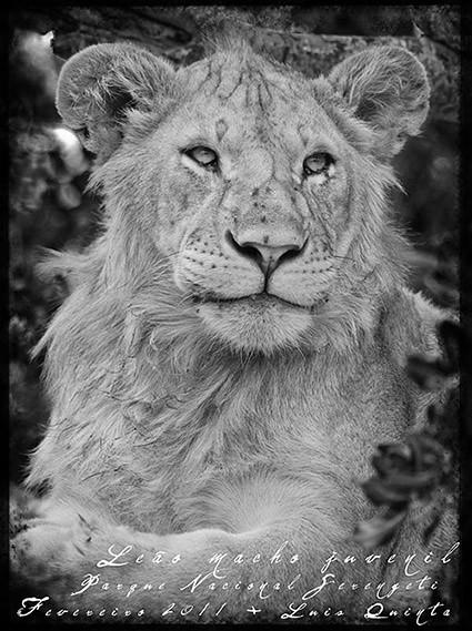 Leão Juvenil