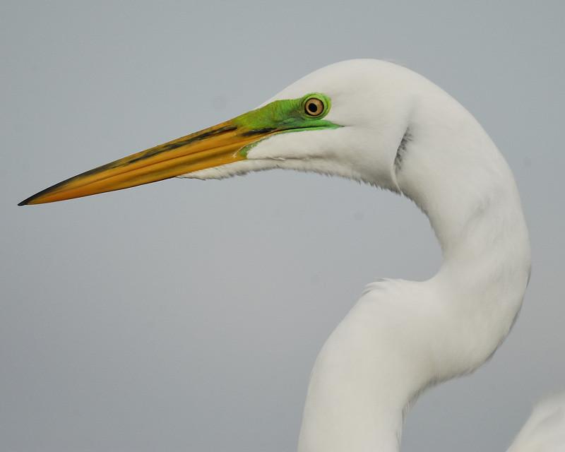 Mystery Bird Great Egret Ardea Alba Science The Guardian
