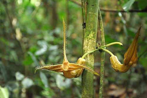 Expédition Sangha 2010 : Pararistolochia triactina
