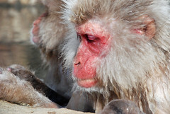 Many stories to tell (Jean-Franois Chnier) Tags: japan monkey asia  onsen nagano japon  singe macaque singes snowmonkey   japanesemacaque  yudanaka   scimmia    jfcpix