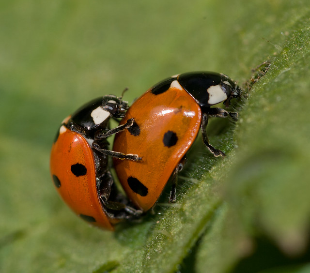 mating 7 spot ladybirds