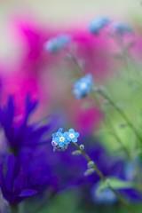 勿忘草 (shinichiro*) Tags: flower macro japan march spring kyoto forgetmenot crazyshin 2011 花回廊 勿忘草 ワスレナグサ 京都府立植物園 わすれなぐさ nikond3 makroplanart2100zf ds95742